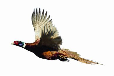 Pheasant-Pg-43-630x420